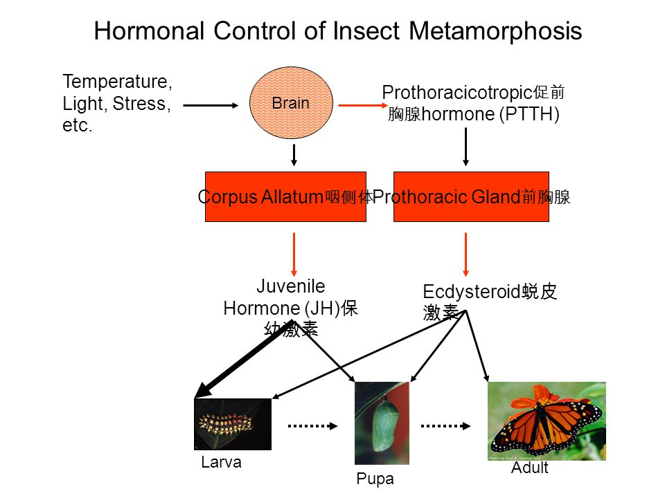 Hormonal Control of Insect Metamorphosis
