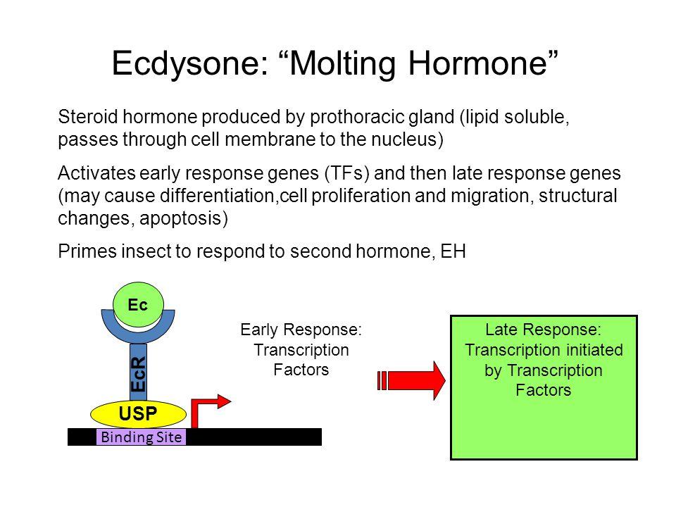 Ecdysone: Molting Hormone