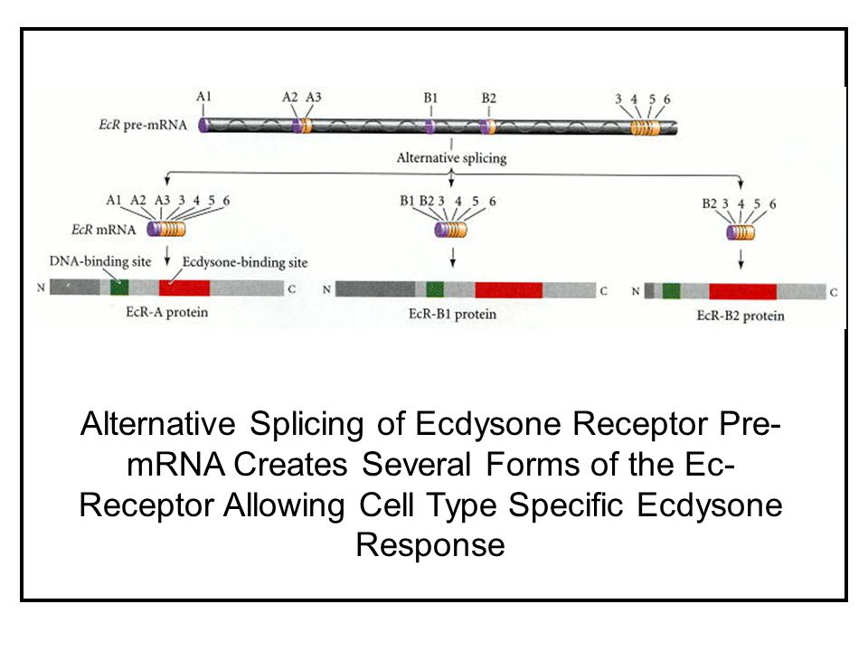 Alternative Splicing of Ecdysone Receptor Pre-mRNA Creates Several Forms of the Ec-Receptor Allowing Cell Type Specific Ecdysone Response