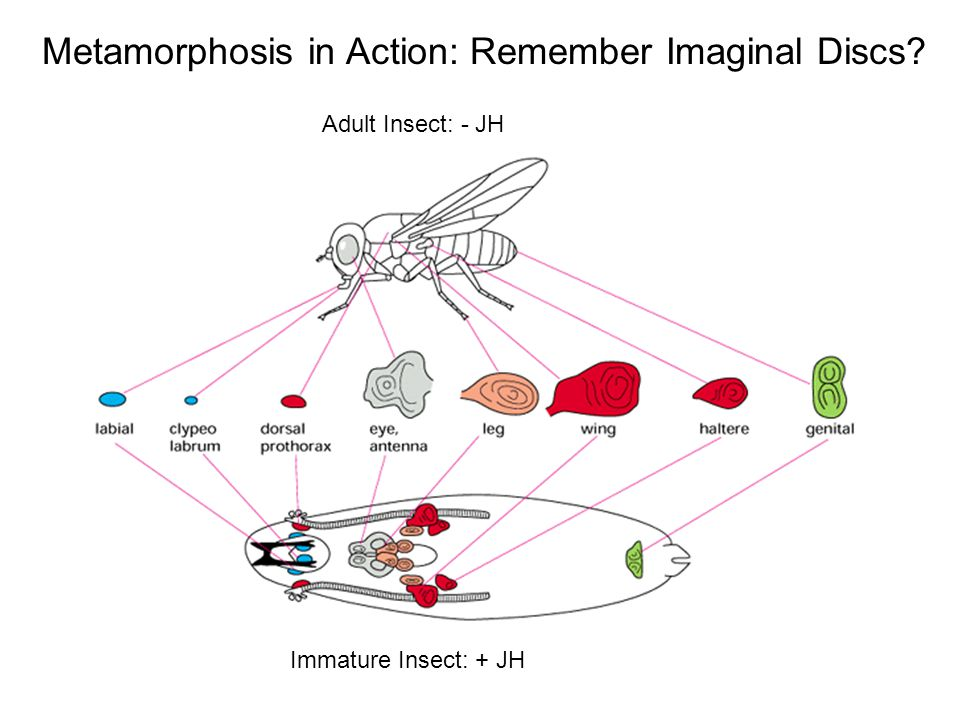 Metamorphosis in Action: Remember Imaginal Discs