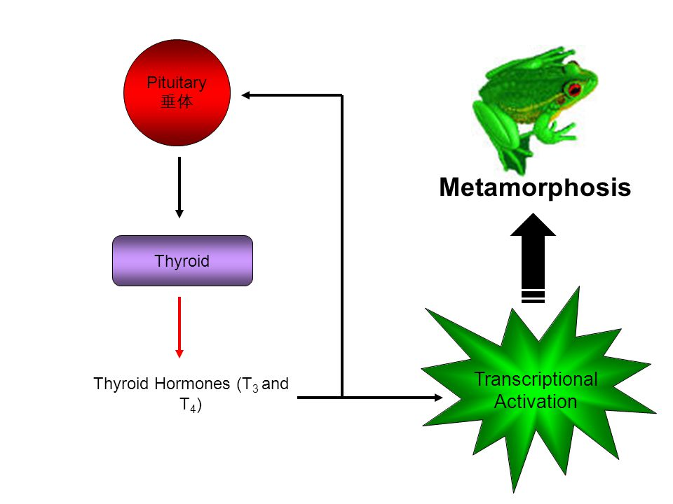 Metamorphosis Transcriptional Activation Pituitary 垂体 Thyroid