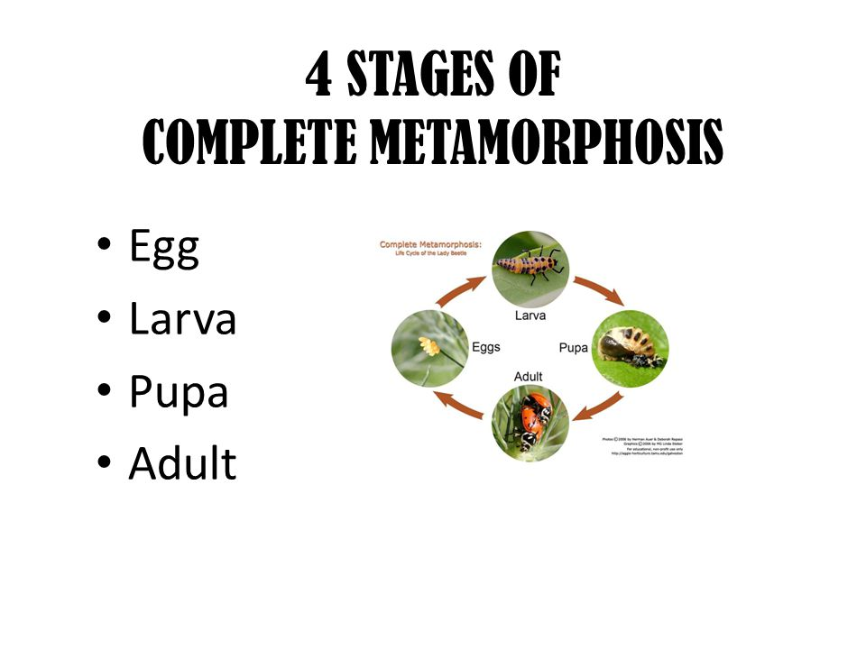 4 STAGES OF COMPLETE METAMORPHOSIS