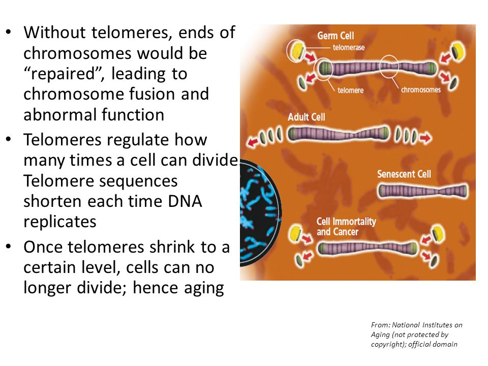 Without telomeres, ends of chromosomes would be repaired , leading to chromosome fusion and abnormal function