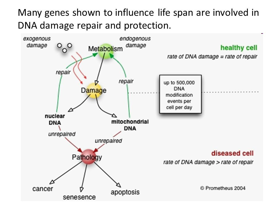 Many genes shown to influence life span are involved in DNA damage repair and protection.