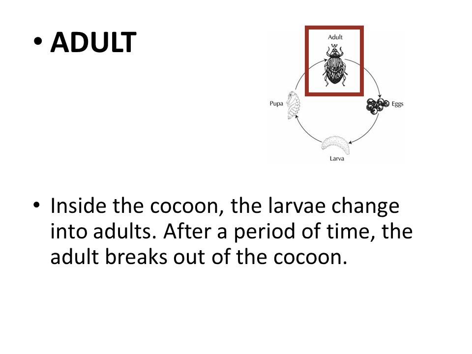 ADULT Inside the cocoon, the larvae change into adults.