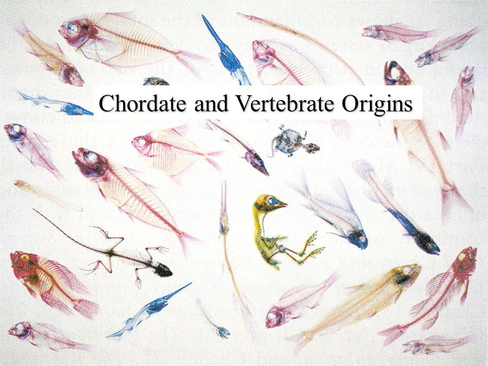 Chordate and Vertebrate Origins