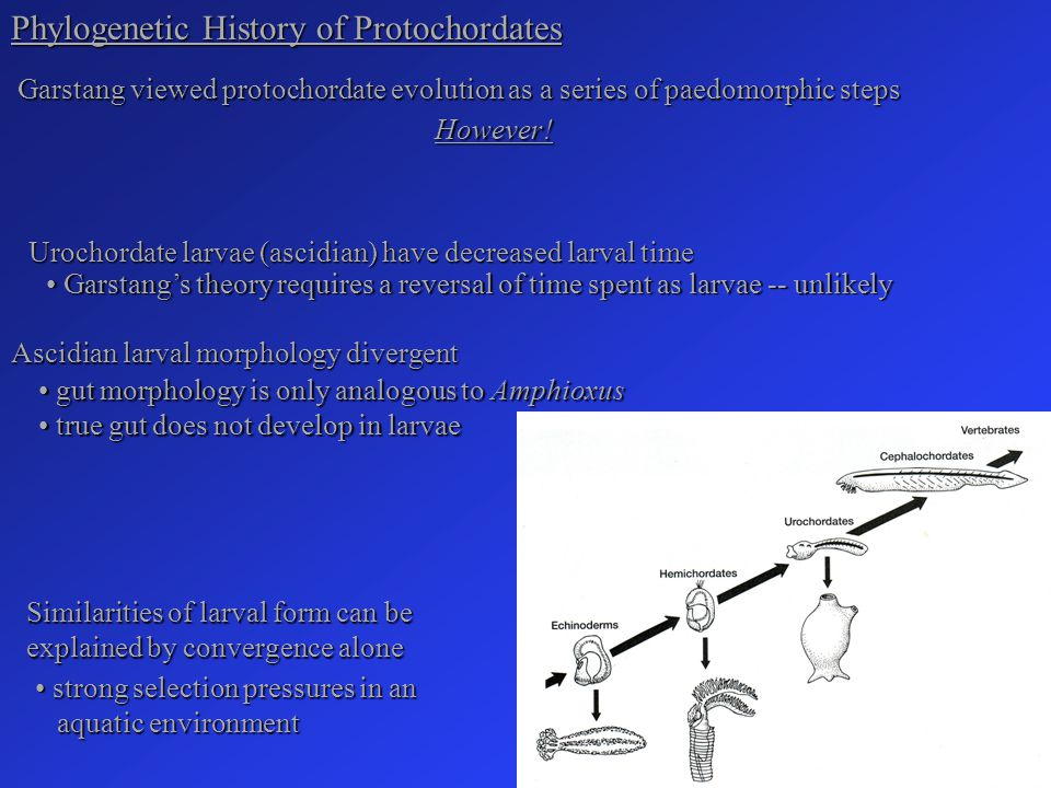 Phylogenetic History of Protochordates