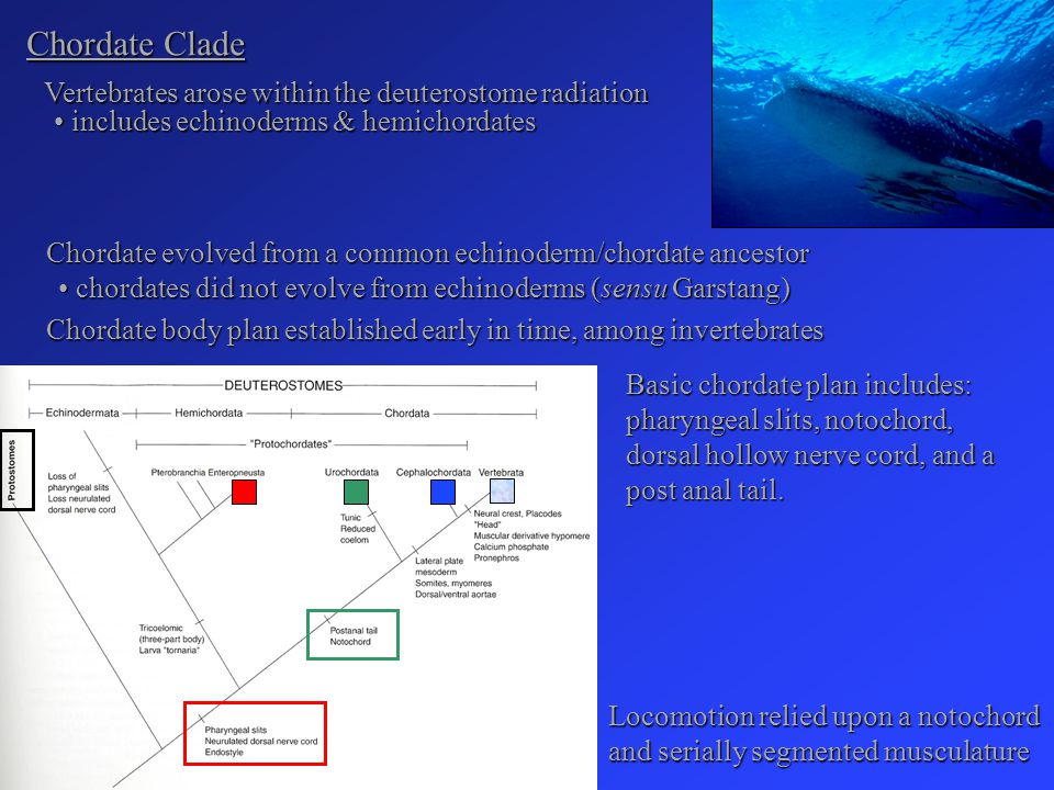 Chordate Clade Vertebrates arose within the deuterostome radiation