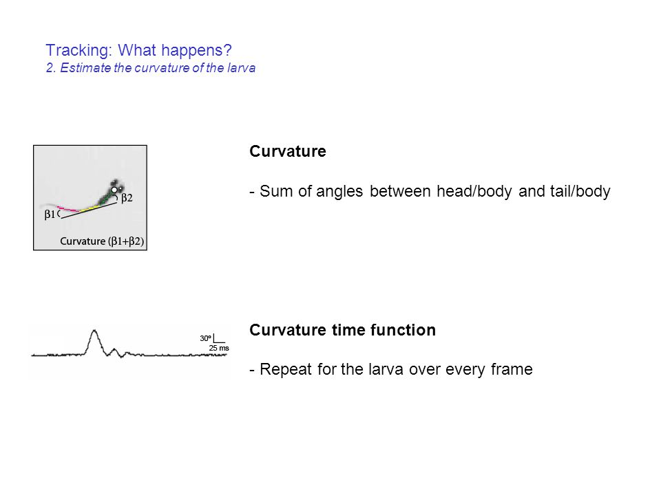 Tracking: What happens 2. Estimate the curvature of the larva