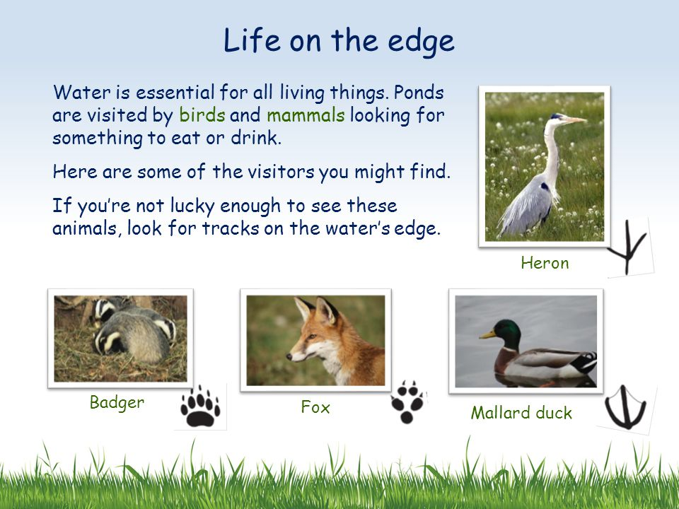 Life on the edge Water is essential for all living things. Ponds are visited by birds and mammals looking for something to eat or drink.
