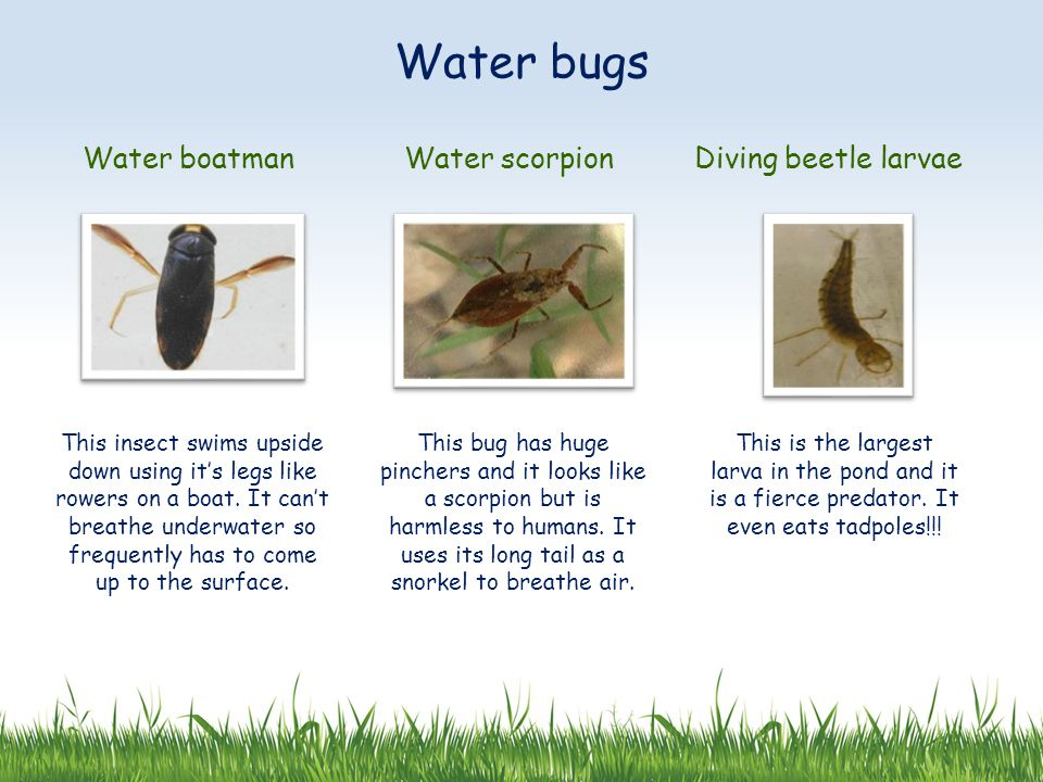 Water bugs Water boatman Water scorpion Diving beetle larvae