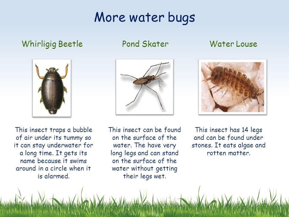 More water bugs Whirligig Beetle Pond Skater Water Louse