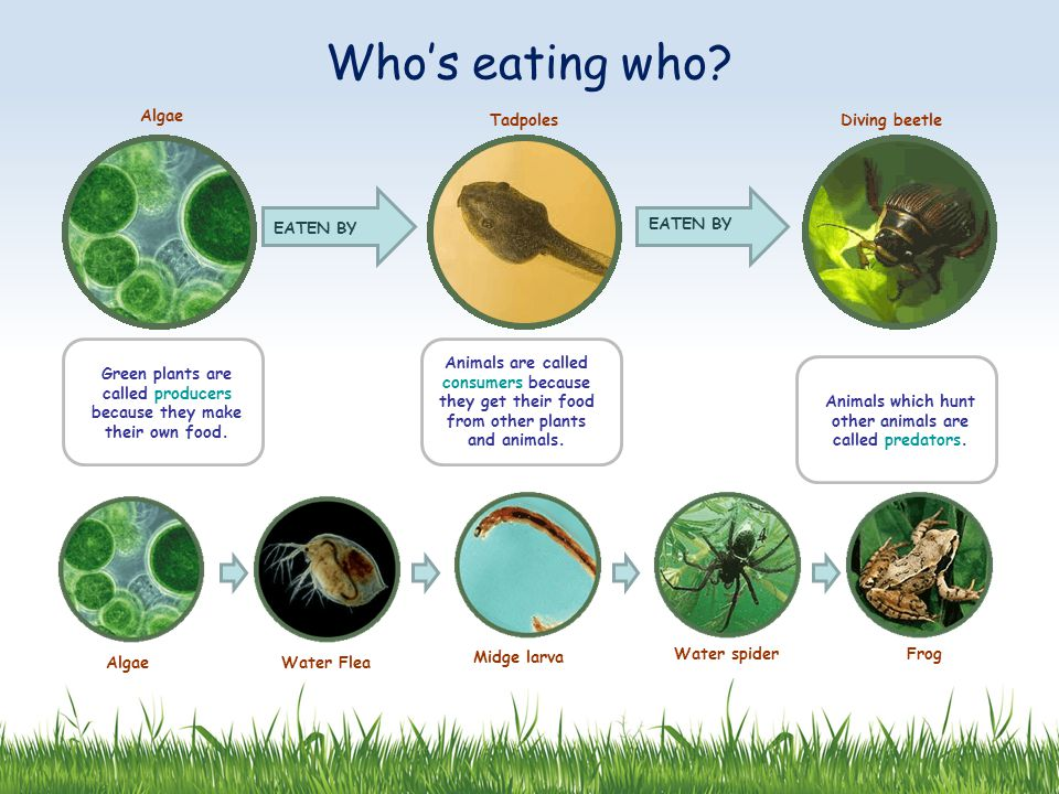 Who's eating who Algae Tadpoles Diving beetle EATEN BY EATEN BY