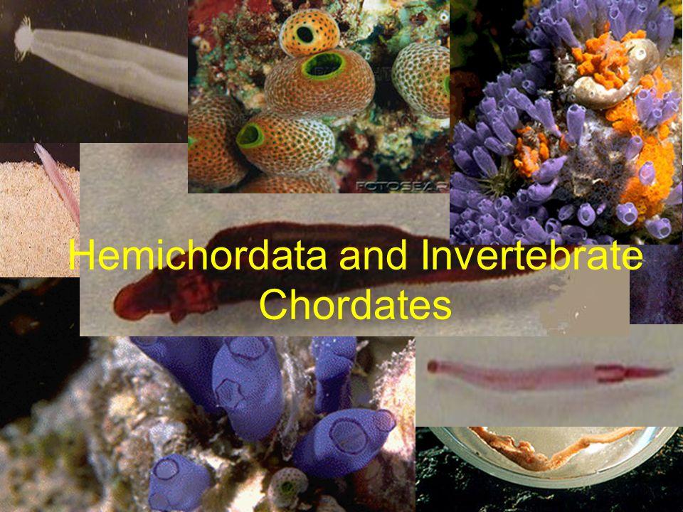 Hemichordata and Invertebrate Chordates