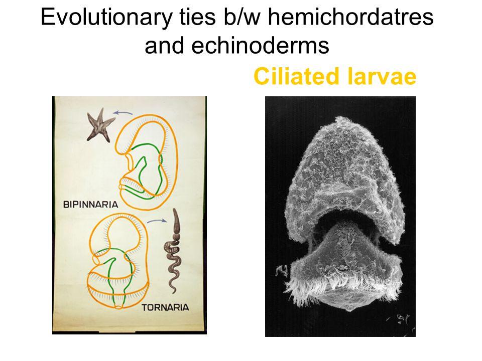 Evolutionary ties b/w hemichordatres and echinoderms