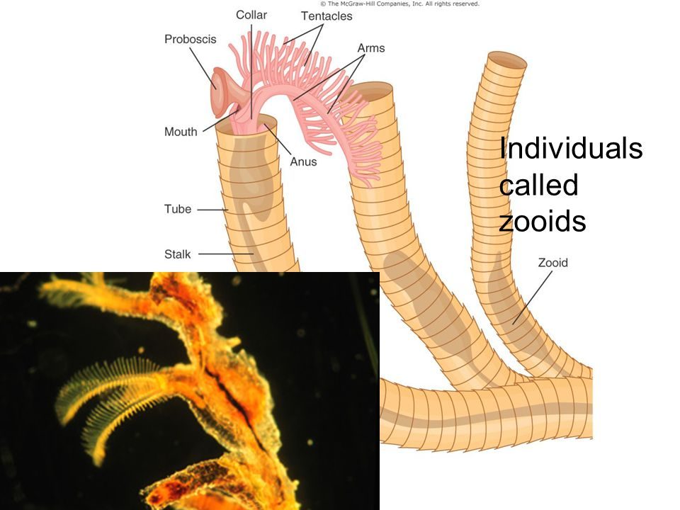 Individuals called zooids