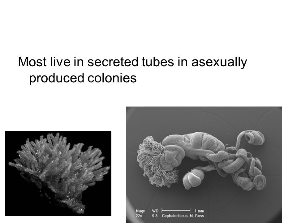 Most live in secreted tubes in asexually produced colonies