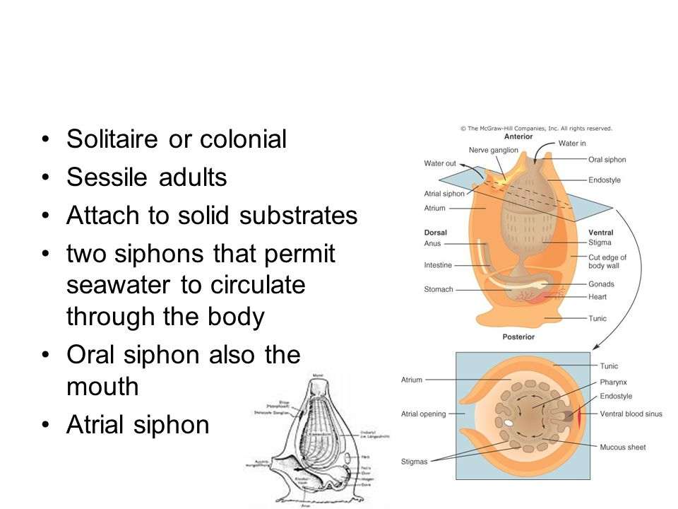 Solitaire or colonial Sessile adults. Attach to solid substrates. two siphons that permit seawater to circulate through the body.