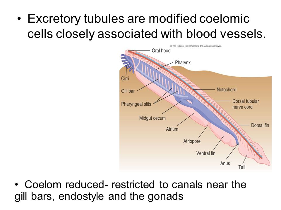 Excretory tubules are modified coelomic cells closely associated with blood vessels.