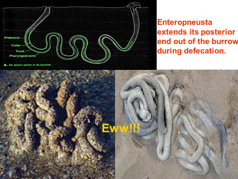 Eww!!! Enteropneusta extends its posterior end out of the burrow