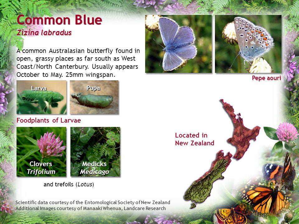 Common Blue Zizina labradus