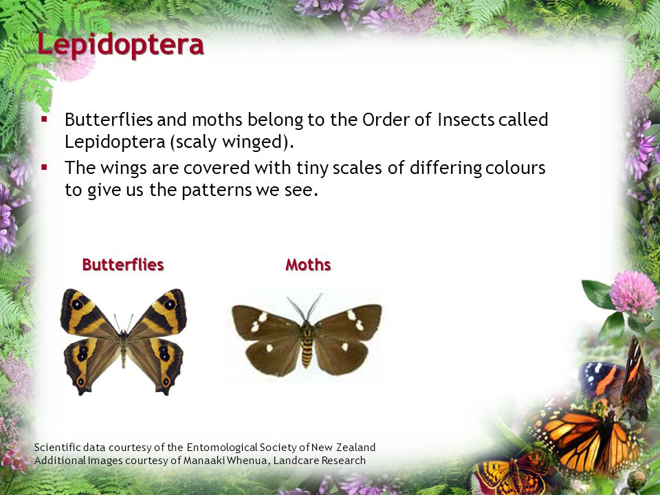 Lepidoptera Butterflies and moths belong to the Order of Insects called Lepidoptera (scaly winged).