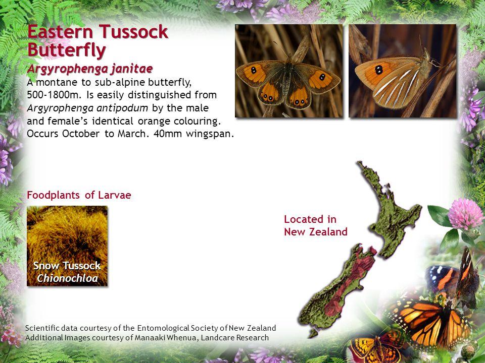 Eastern Tussock Butterfly