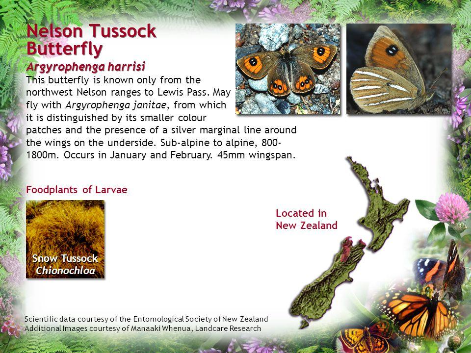 Nelson Tussock Butterfly