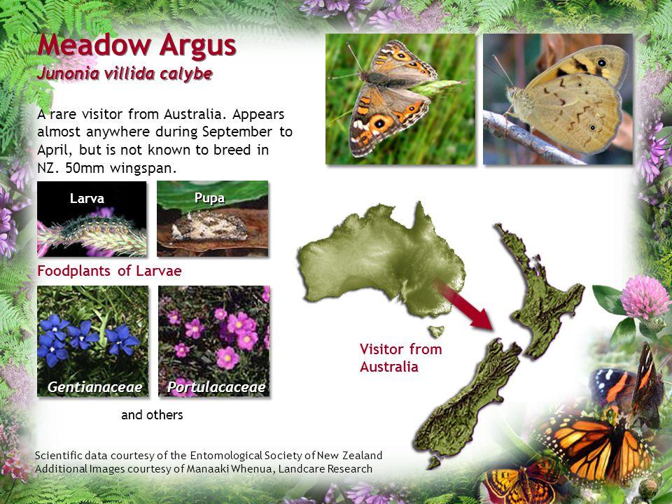 Meadow Argus Junonia villida calybe