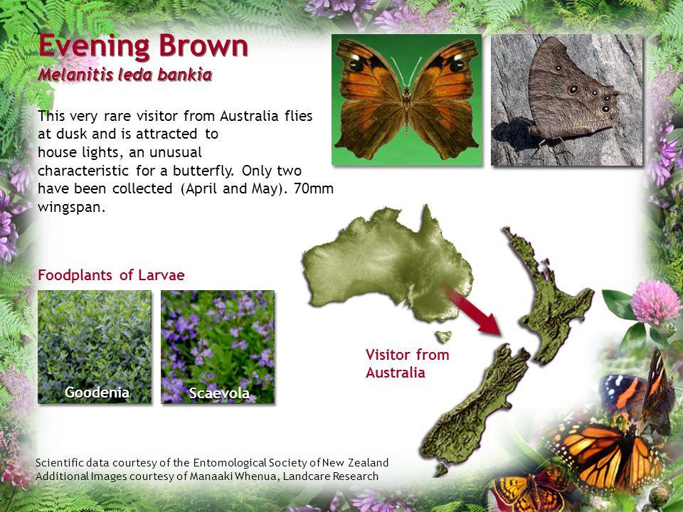 Evening Brown Melanitis leda bankia