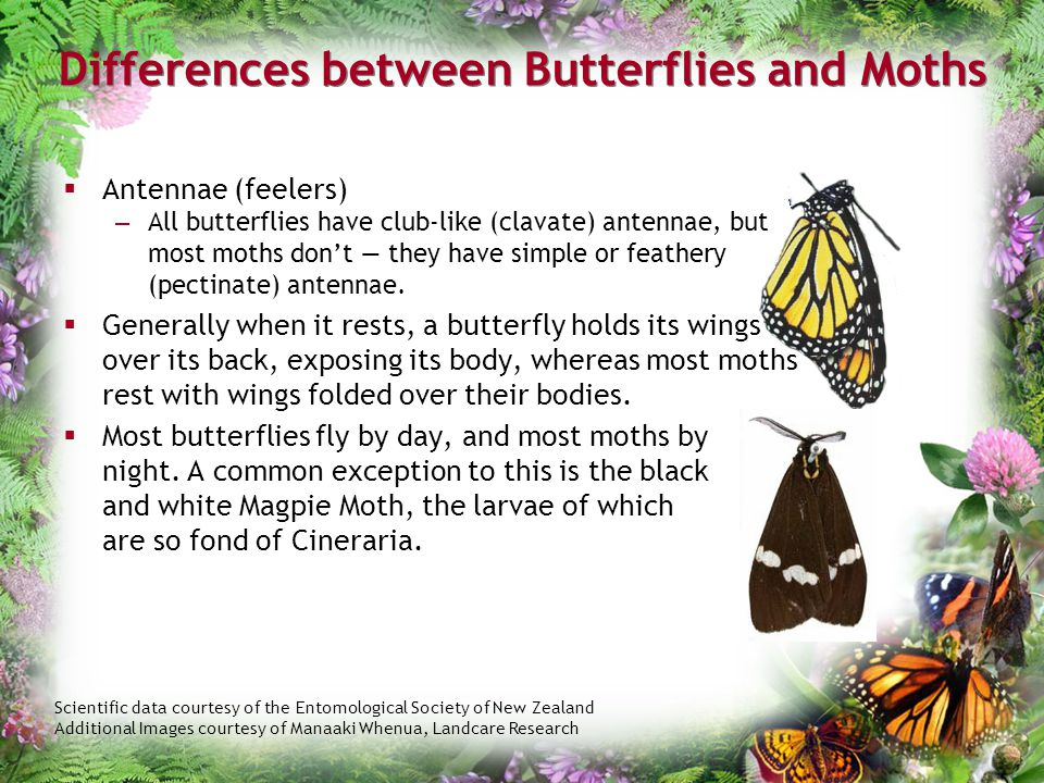 Differences between Butterflies and Moths