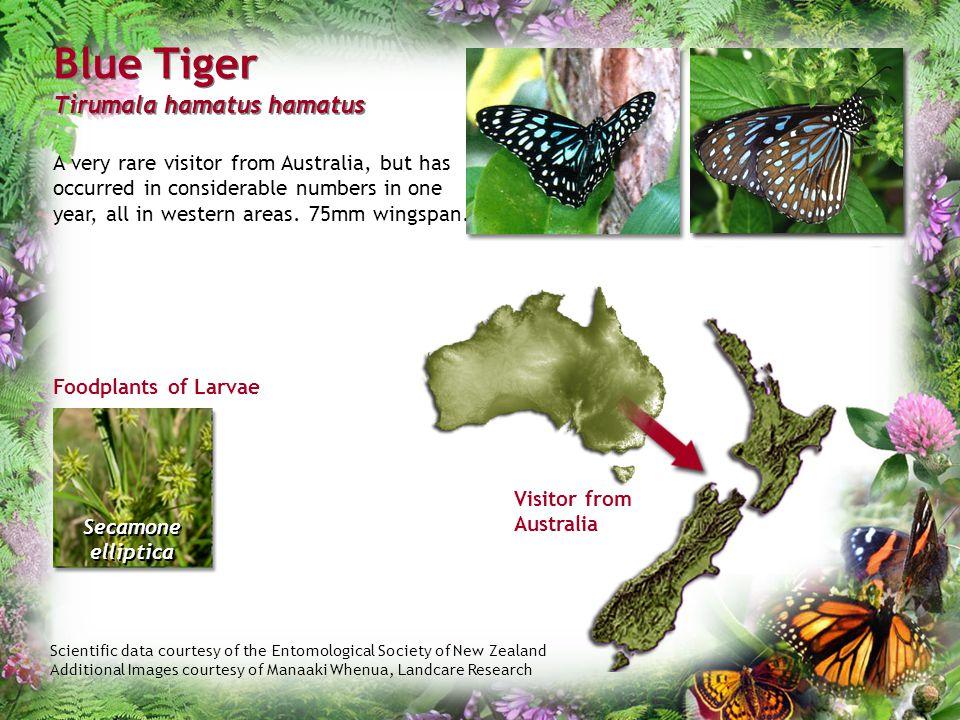 Blue Tiger Tirumala hamatus hamatus