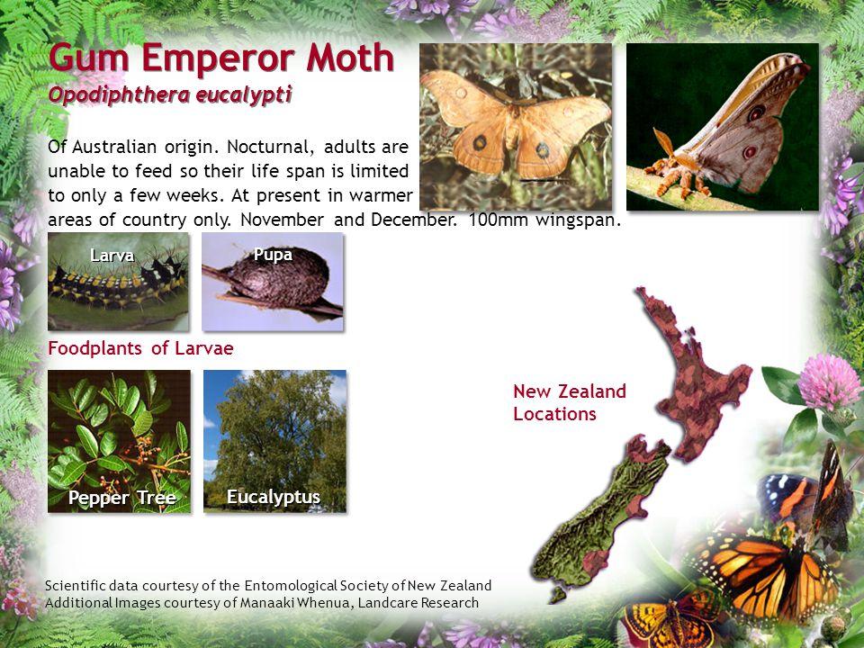 Gum Emperor Moth Opodiphthera eucalypti