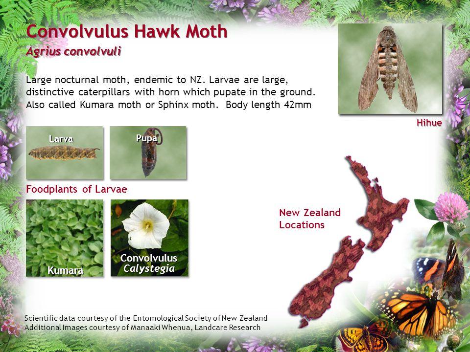 Convolvulus Calystegia