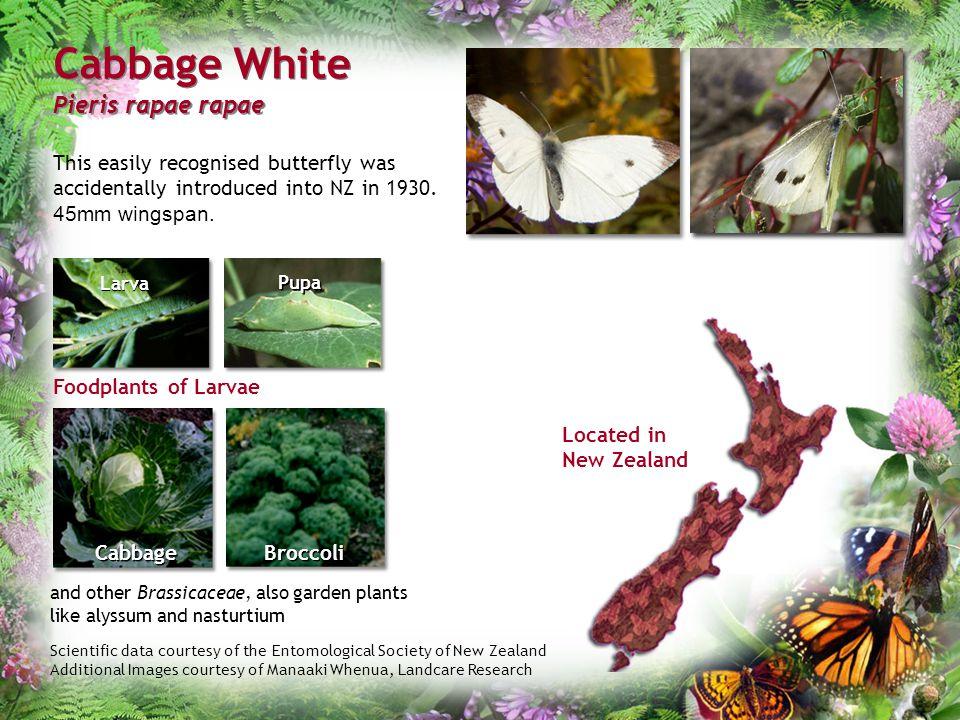 Cabbage White Pieris rapae rapae