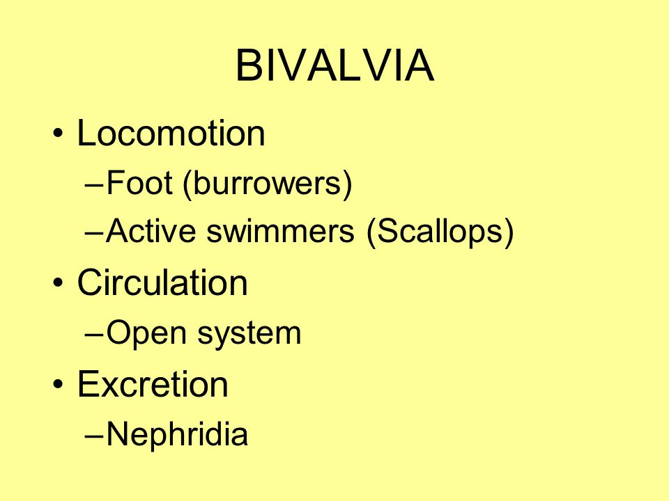 BIVALVIA Locomotion Circulation Excretion Foot (burrowers)