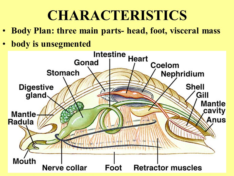 CHARACTERISTICS Body Plan: three main parts- head, foot, visceral mass