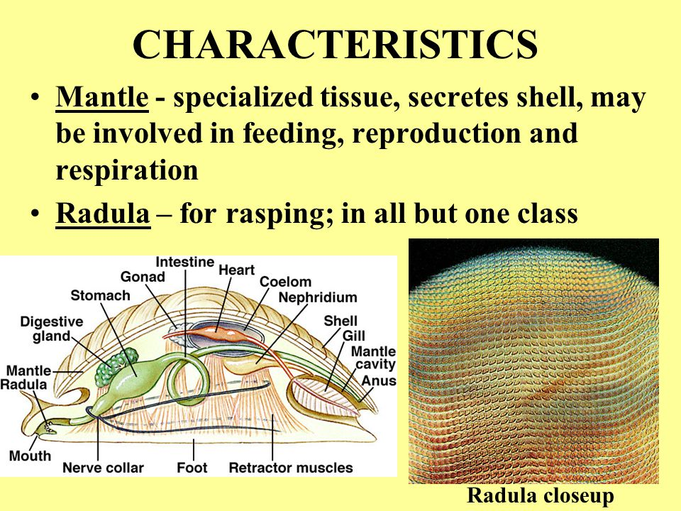 CHARACTERISTICS Mantle - specialized tissue, secretes shell, may be involved in feeding, reproduction and respiration.