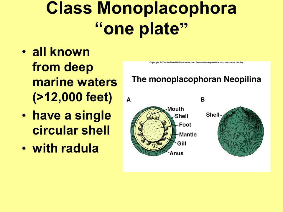 Class Monoplacophora one plate