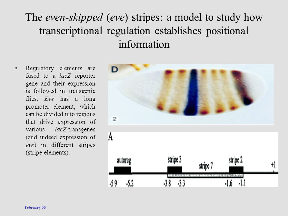 The even-skipped (eve) stripes: a model to study how transcriptional regulation establishes positional information