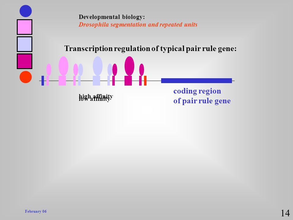 14 Transcription regulation of typical pair rule gene: coding region