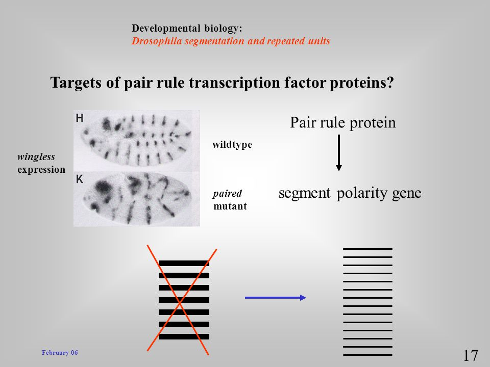 Targets of pair rule transcription factor proteins