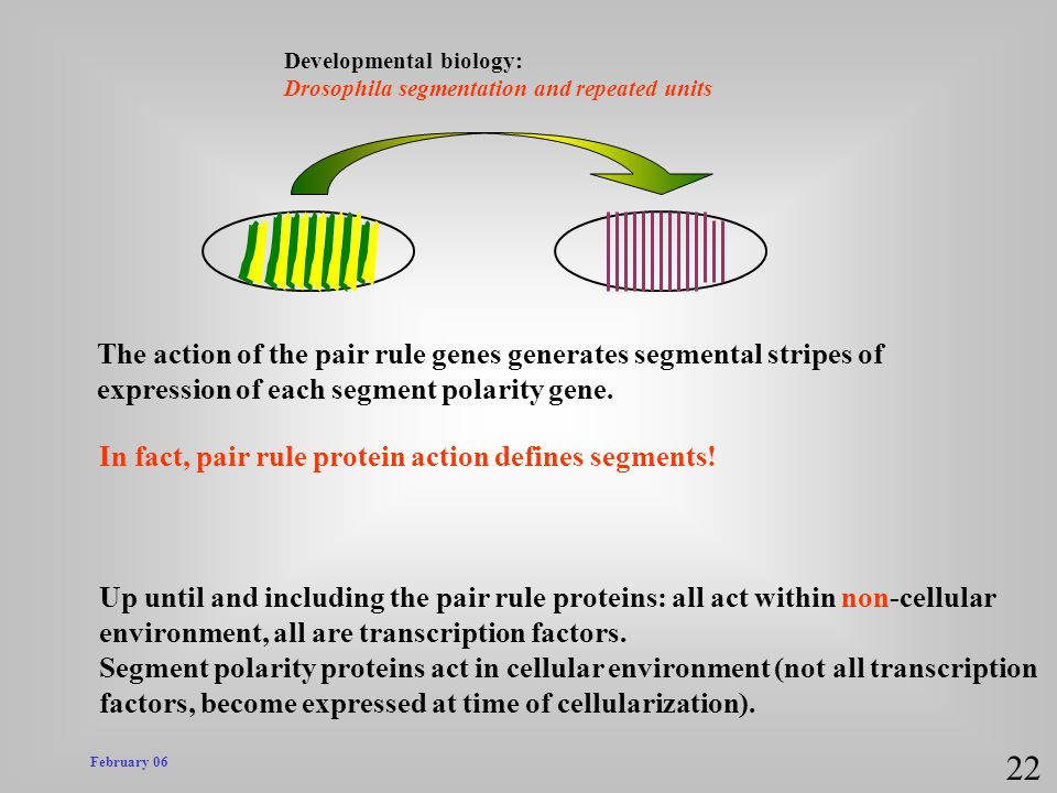 22 The action of the pair rule genes generates segmental stripes of