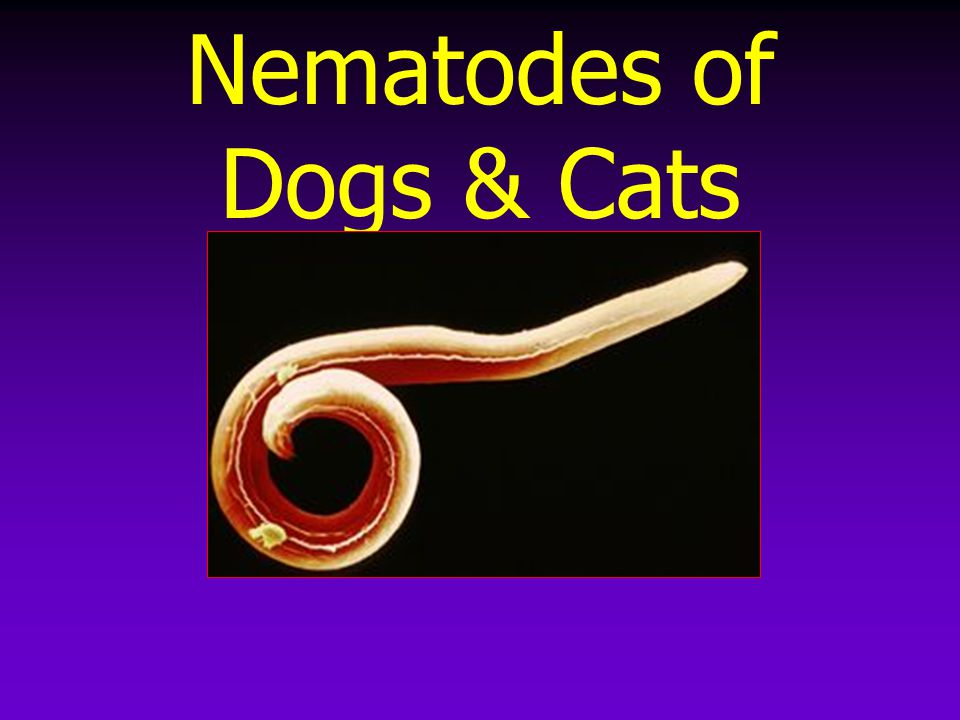 Nematodes of Dogs & Cats