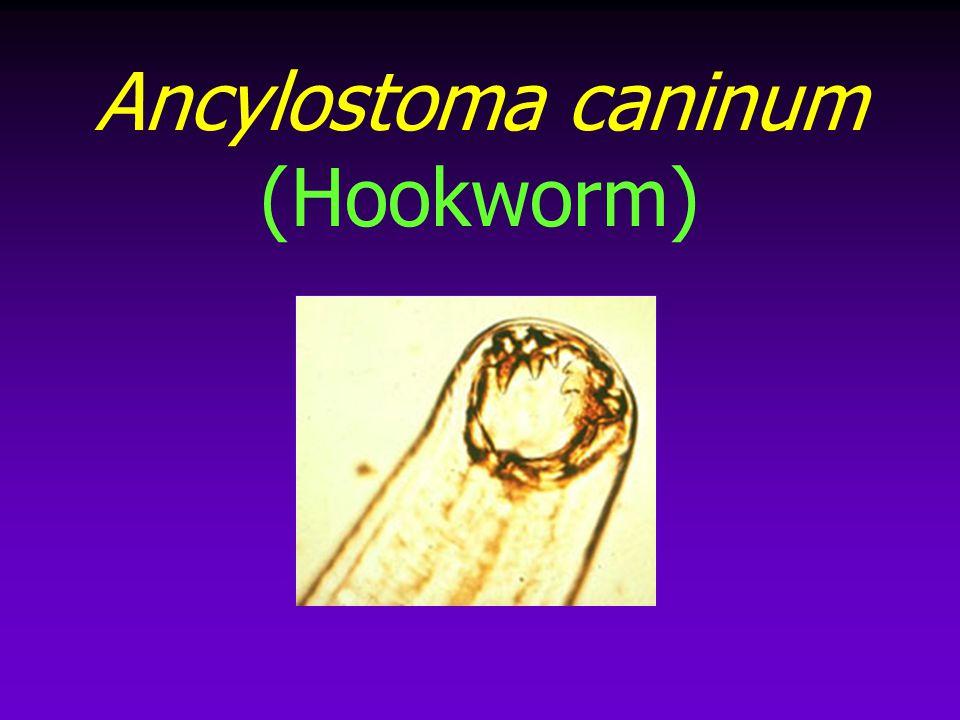 Ancylostoma caninum (Hookworm)