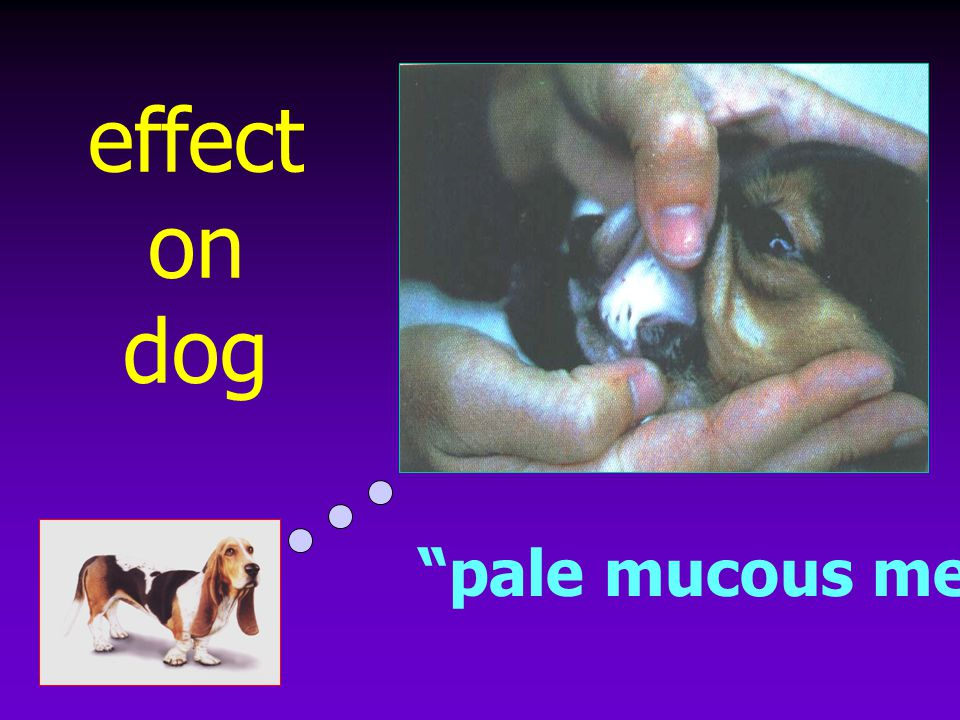effect on dog pale mucous membrane