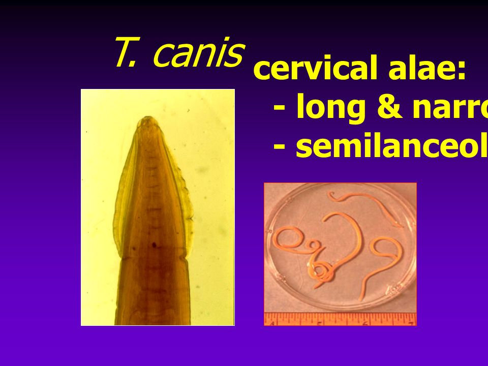 T. canis cervical alae: - long & narrow - semilanceolate