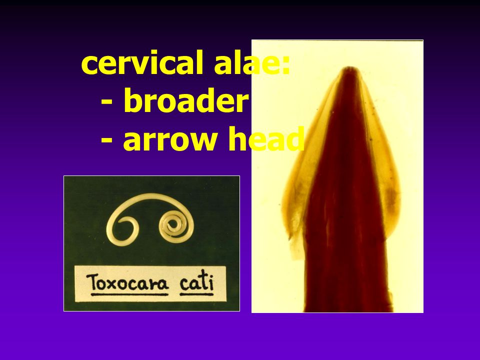 cervical alae: - broader - arrow head