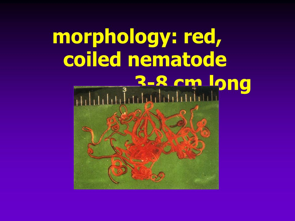 morphology: red, coiled nematode