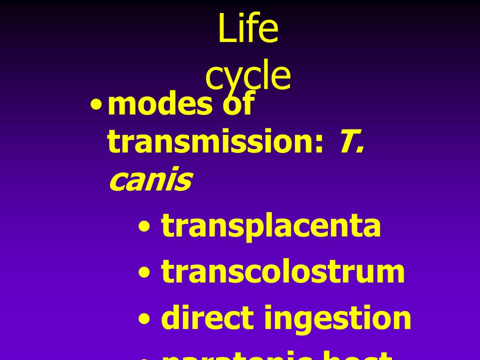 Life cycle modes of transmission: T. canis transplacenta